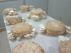 Oyster Mushroom 05