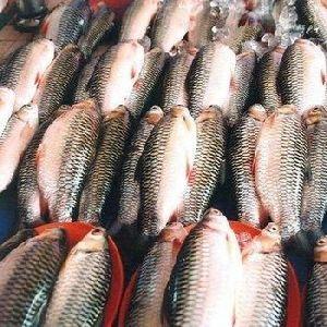 Fresh Farm Fish
