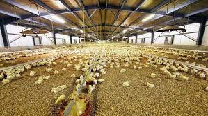 Farm Chicken Franks