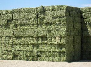 Alfalfa Hay 18