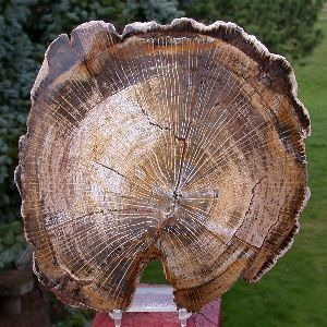 Hoop Pine Wood Logs