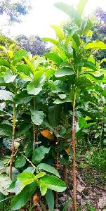 Lucknow Guava Plant