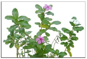 CATHARANTHUS ROSEUS LEAVES POWDER
