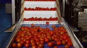 Tomato Sorting Conveyor
