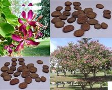 butterfly tree orchid tree Seed