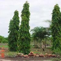 Ashoka Single Plant
