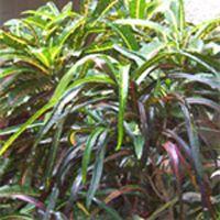 Banana Croton Plant