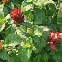 Belpuniya Plant
