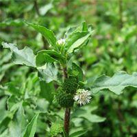 Bhringraj Plant
