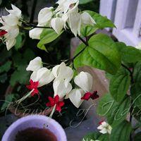 Bleeding Heart Vine Plant