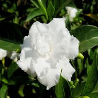Chandni Singal Plant
