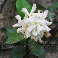 Confederate Jasmine Plant