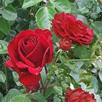 Dublin Bay Rose Plant