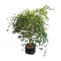 Ficus Benjamina Foliage Plant