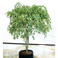 Ficus Benjamina Nuda Plant