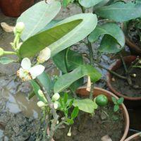 Galgal Plant