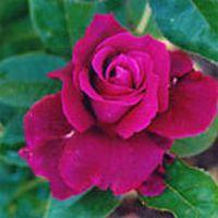 Intrigue Rose Plant