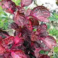 Iresine Plant