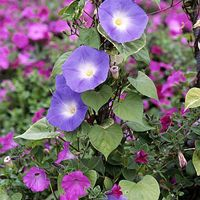 Jacquemontia Plant