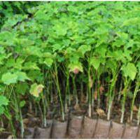 Jatropha Ratanjot Biodiesel Plant