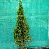 Juniperus Chinensis Plant