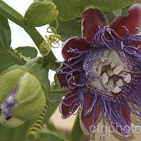 Rakhi Creeper Plant