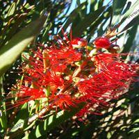 Red Bottle Brush Plant