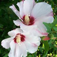 White Hibiscus Plant