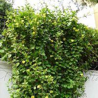Wild Allamanda Plant
