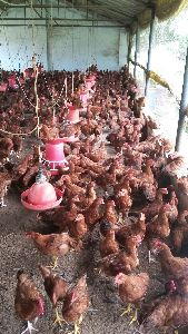 Live Giriraja Chicks