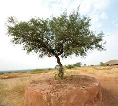 Khejri Tree