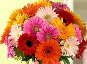 Fresh Gerbera Flowers