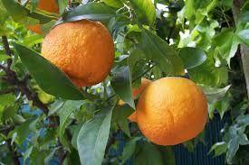 Citrus Aurantum