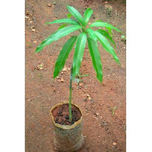 Mango Grafted Plant
