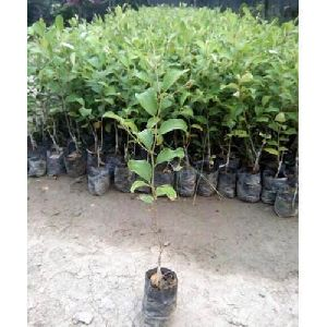 Nursery Apple Ber Plant