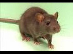 Rat Control Treatment Services 01