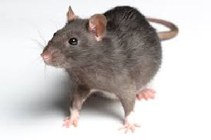 Rat Control Treatment Services 03