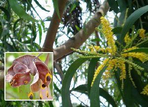 Acacia Aurifuliformis