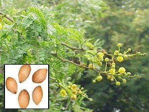 Acacia Lenticularis