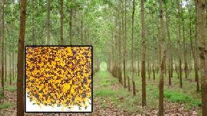 Acacia Mangium