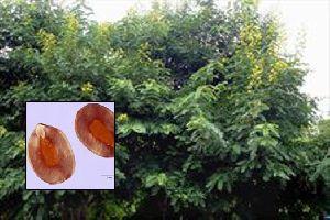 Cassia Siamia