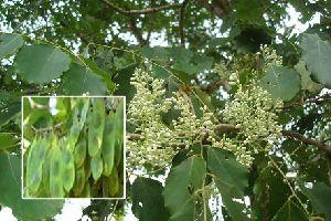 Dalbergia Latifolia (Rose Wood )