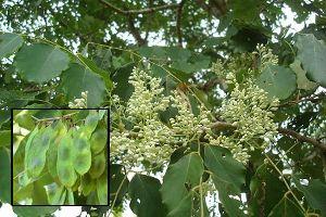 Dalbergia Latifolia (Rose Wood)