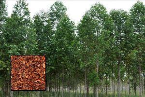 Eucalyptus Pellita