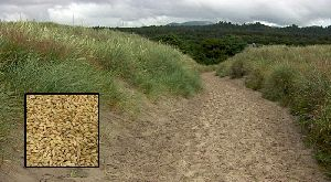 Katu Grass
