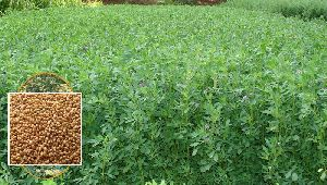 Medicago Sativa ( Lucerne or Alfa Alfa)