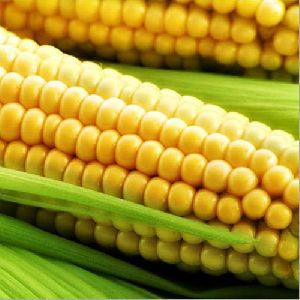 Whole Yellow Maize