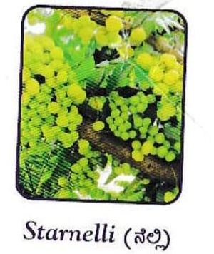 Fresh Starnelli