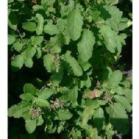 Rama Tulsi Plant