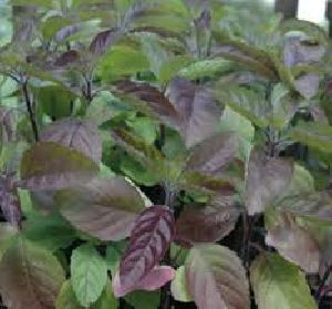 Shyama Tulsi Plant